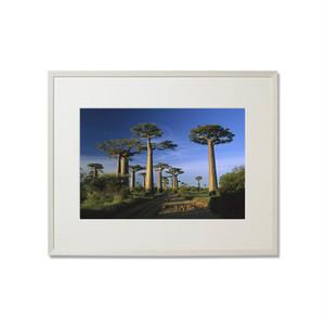 グランディディエリー・バオバブの木と道