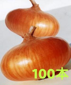【玉ねぎ苗】貝塚早生 (100本)