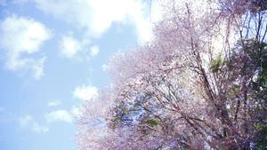 クマノザクラ__Kumanozakura_05