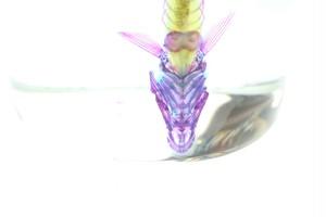 ドジョウ 透明骨格標本