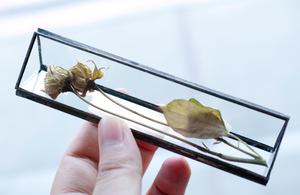 植物標本:ドライフラワー『スプレーローズ オフホワイト』