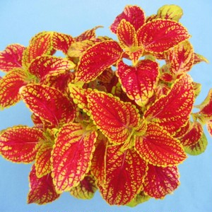 コリウス マンゴープリンセス10.5cmポット苗3鉢