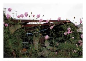 柳川たみ 『コスモスの花が咲いている』
