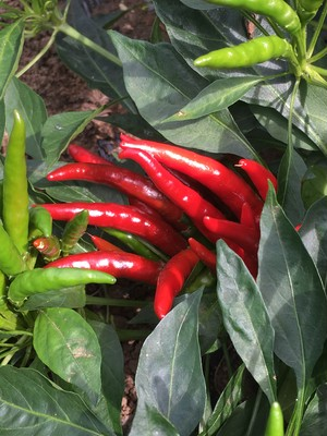 赤唐辛子/ Red Chili pepper