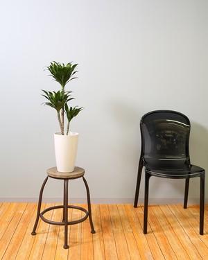 【観葉植物】ドラセナ ナビー 5.5号 プラスチック鉢 ストレート インテリア 開店祝