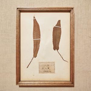 植物標本 フレーム 1929 vintage 18MAR-VSH38