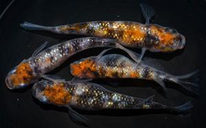 *伊香保FF BASE限定* 三色ラメ 稚魚(2021年産まれ)稚魚 20匹 ikahoff U-0321-8402-c