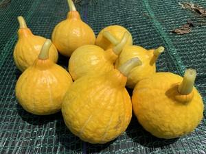 みくりな農園 コリンキー (サラダかぼちゃ) 業務用10kg