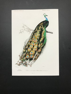 ビンテージプリント 動物コレクション  孔雀