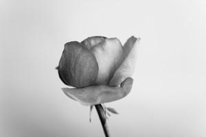 Rose Noir  #02