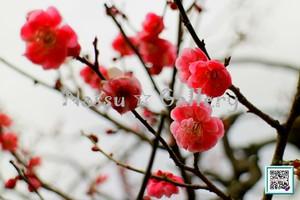 青葉の梅林~Plum grove~⑥