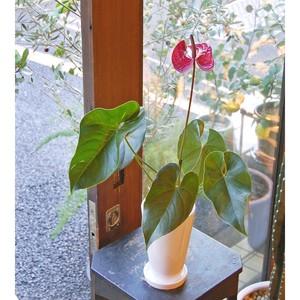 アンスリウム・濃ピンク花