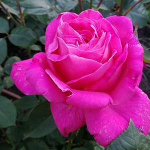 ピンク ピース Pink Peace