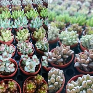 多肉植物苗6品種セット