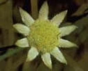 リトルフランネルフラワー[Little Flannel Flower]