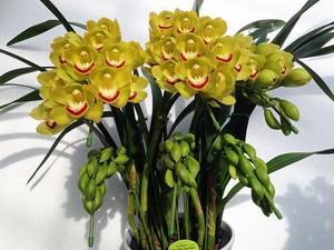 シンビジューム黄色アーチ6本 現物の画像 1鉢