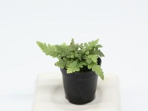 コシケシダ《苔テラリウム・コケリウム用観葉植物》