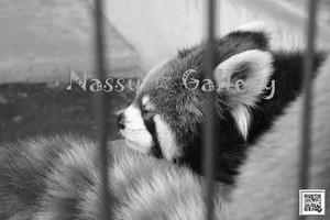 ねんねしてるレッサーパンダモノクロ~The sleeping red pandas - monochrome~