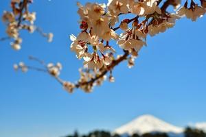 河口湖の桜とうっすら富士山 03