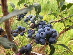 『札幌市・江別市』限定販売・宅配 自然栽培ブルーベリー 500g