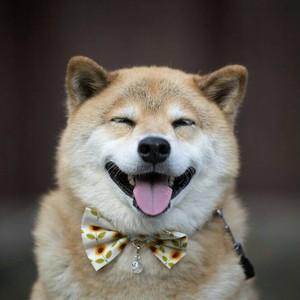 柴犬まるペット用蝶ネクタイ 夏バージョンひまわりまる