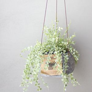 [吊るす植物]ディスキディア・バリエガタ・スター