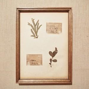植物標本 フレーム 1929 vintage 18MAR-VSH35