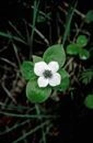 バンチベリー[Bunchberry]