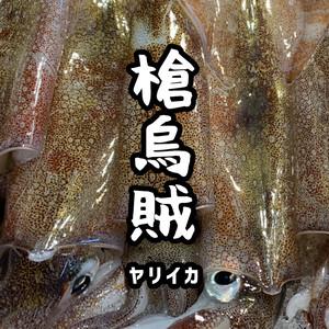 寿都産 活ヤリイカ(5ハイセット)
