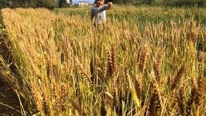 小麦粉 中力粉(農林61号)500g