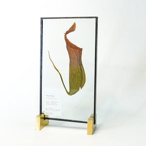Nepenthes ウツボカズラ