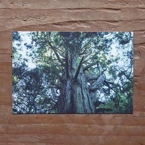 [ポストカード]鉾杉 / HOKOSUGI