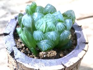 ハオルシア・イクラ×信楽焼鉢