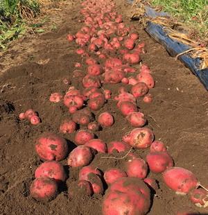 アンデスレッド(ジャガイモ)/ Andes Red (Potato)