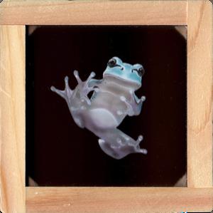 【原画】透明板アート:碧いニホンアマガエル1 (Tree frog)