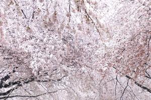 ポストカード 東京都中野通り(雪と桜)
