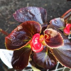 黒葉八重咲きベゴニア10.5cmポット苗