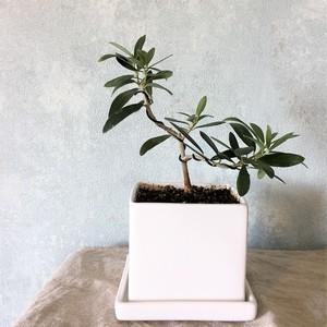 オリーブ盆栽 マンザニロ(PS45)