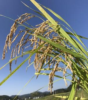 植木町土田さんの自然栽培米ヒノヒカリ 3kg