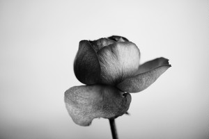 Rose Noir  #05