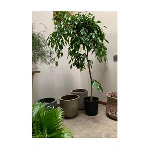 【都内近郊専売】フィカス・ストリクタ-2 植物のみ(ナーセリーポット黒)