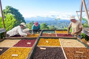 【コスタリカ・コフィアディベルサ農園ラウリナポインテッド】コーヒー豆 50g