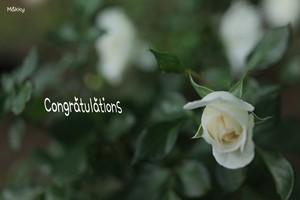 フォト・カード(単品/ポストカード可)/ホワイトローズ(Congratulations)写真