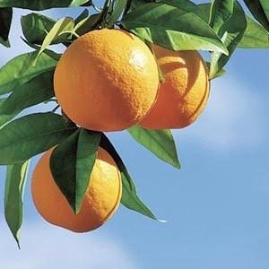 スイートオレンジエッセンシャルオイル