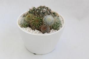 サボテンホワイト鉢11cm