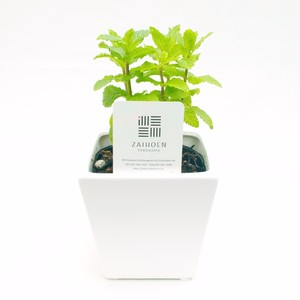 【無農薬ハーブセット】スペアミント