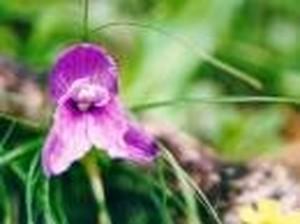 パープルオーキッド[Purple Orchid]