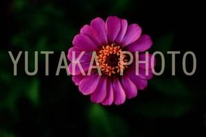 写真(ピンクの花)