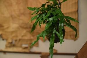 ミクロソラム 苔玉吊り仕立て