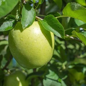王林 小箱 ご自宅用 3個セット | 青りんごの代表格は際立つ甘さと心地よい歯ごたえ